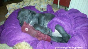 Hund liegt auf Hindekissen und schläft