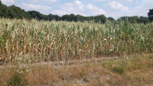 ein trockenes Maisfeld