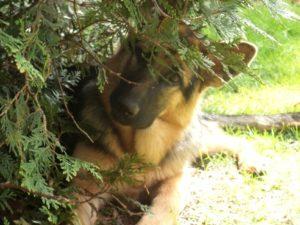 Hund schaut aus Busch