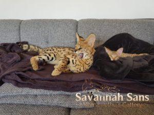 Savannah Katzen auf dem Sofa