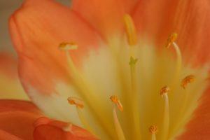 Nahaufnahme orange Zimmerpflanze